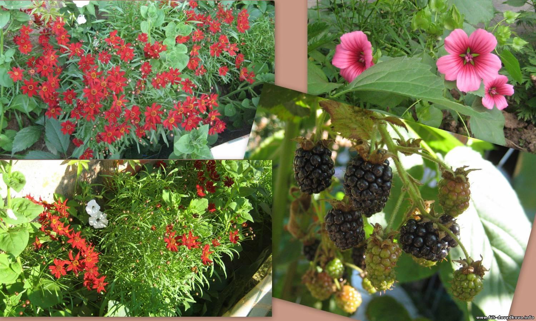 Названия однолетних цветов цветущие все лето фото